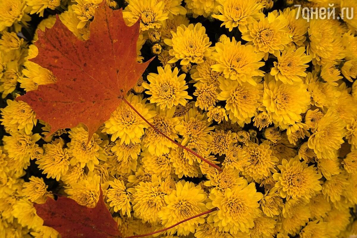 Как укрыть хризантемы на зиму. особенности подготовки хризантем к зиме