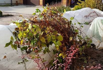 Клематисы осенью: подготовка к зиме, обрезка, укрытие