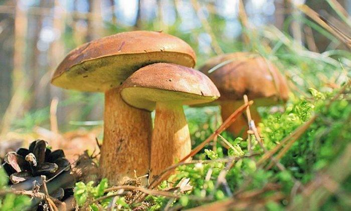Польский гриб (imleria badia): информация, где растет, фото
