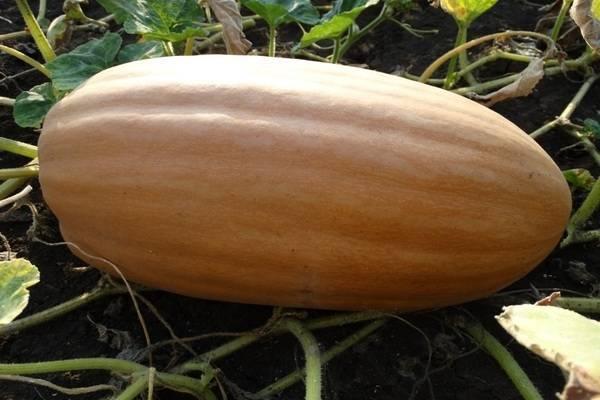 Тыква витаминная: отзывы, главные секреты выращивания, фото