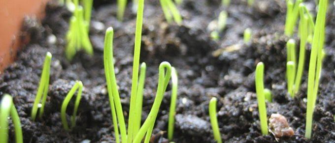 Выращивание лука-порей на грядке и в домашних условиях