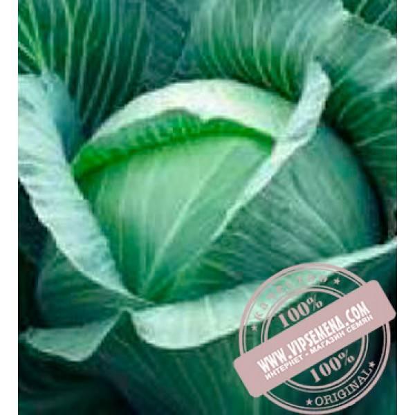Популярный на рынке сорт из голландии — капуста харрикейн f1: описание и характеристика