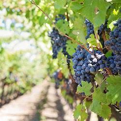 Укрытие винограда на зиму и подготовка к зиме - vinograd-loza