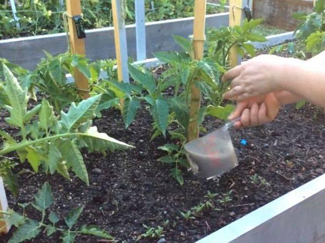 Подкормка томатов дрожжами: как и когда удобрять в теплице, рецепты