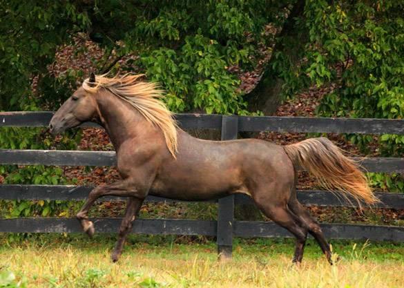 Лошадь скалистых гор