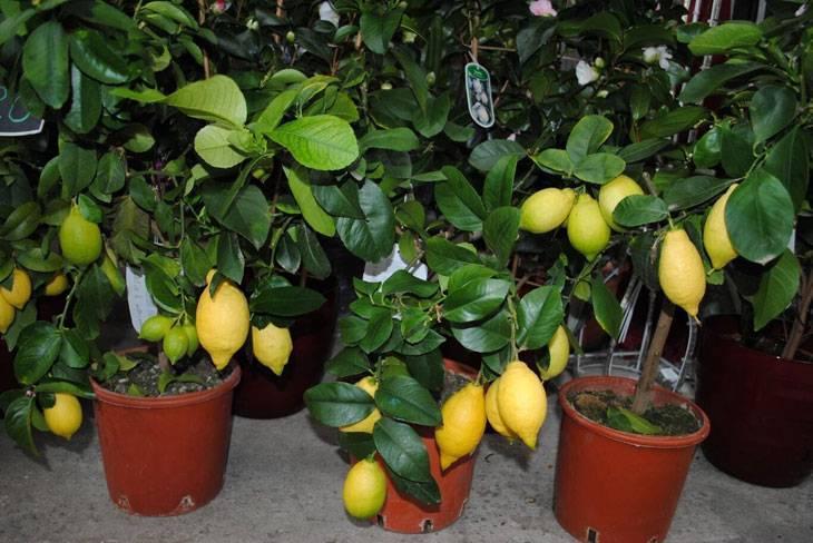 Как посадить лимон — пошаговая инструкция