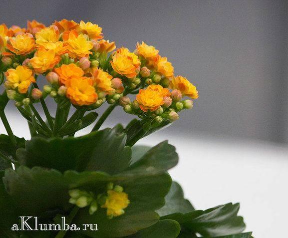 Каланхоэ - 72 фото тропического растения с целебными свойствами