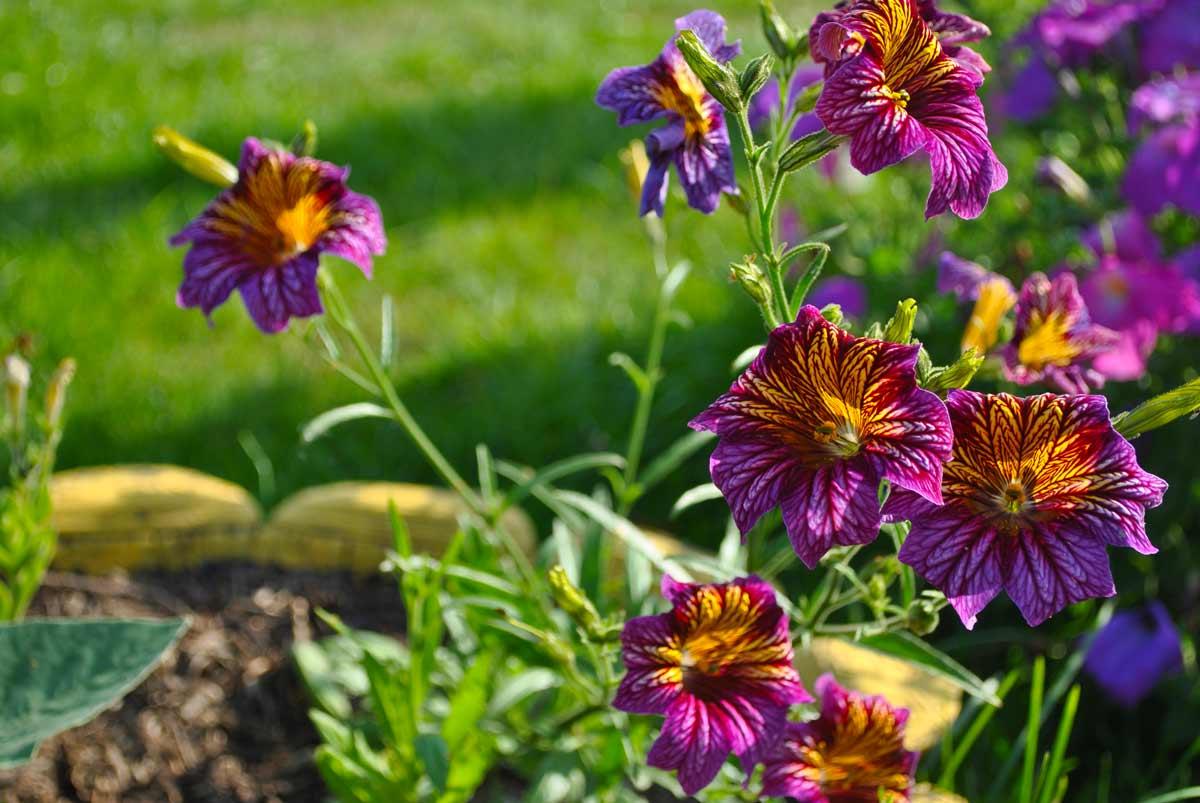 Сальпиглоссис - выращивание из семян в домашних условиях