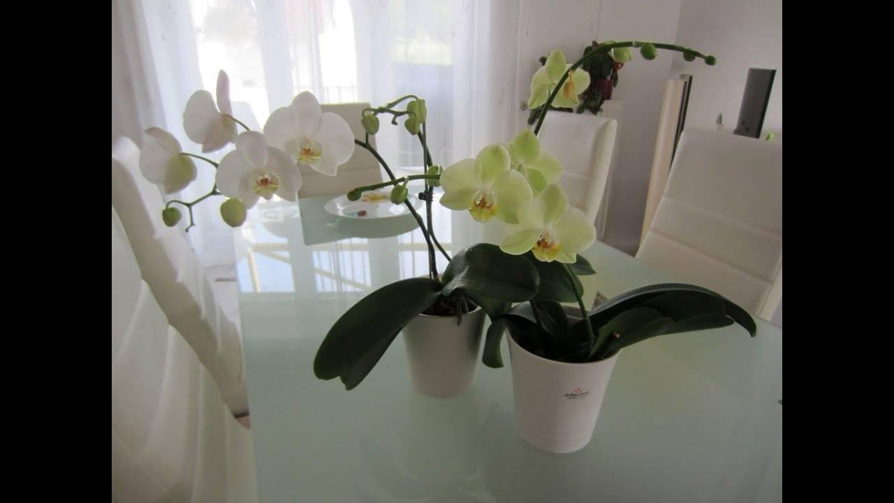Почему у фаленопсиса опадают бутоны и что делать, когда орхидея сбрасывает цветы