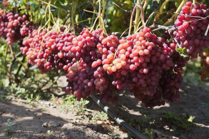Описание и характеристики, устойчивость к заболеваниям сорта винограда дарья и правила выращивания