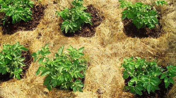Опилки для огорода: польза и вред такого удобрения