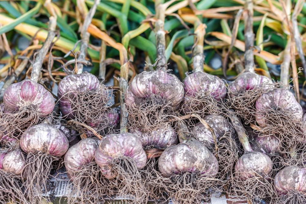 Посадка чеснока на зиму в беларуси: особенности и секреты выращивания