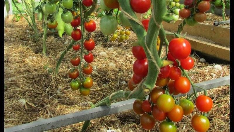 Сорта помидоров черри для открытого грунта: низкорослые, без пасынкования, а также лучшие томаты для выращивания в сибири и на урале