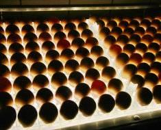 Овоскопирование куриных яиц по дням: фото, видео