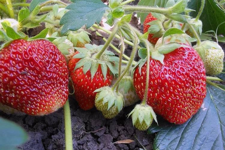Вьющаяся клубника: уход и выращивание, правила посадки, болезни и вредители