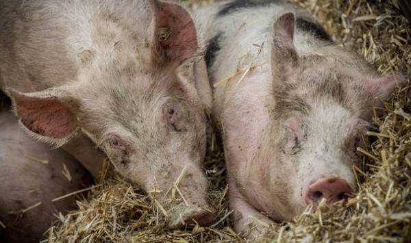 Африканская чума свиней: симптомы, режим карантина, профилактика и борьба с заболеванием (120 фото и видео)