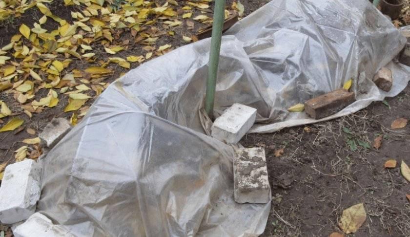 Виноград в сибири для начинающих: посадка и укрытие на зиму