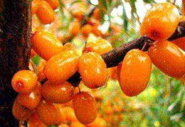 Сорта облепихи: крупноплодные, урожайные, сладкие, без шипов, зимостойкие