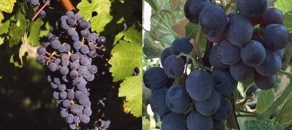 «юпитер»: сорт бессемянного винограда из американской селекции