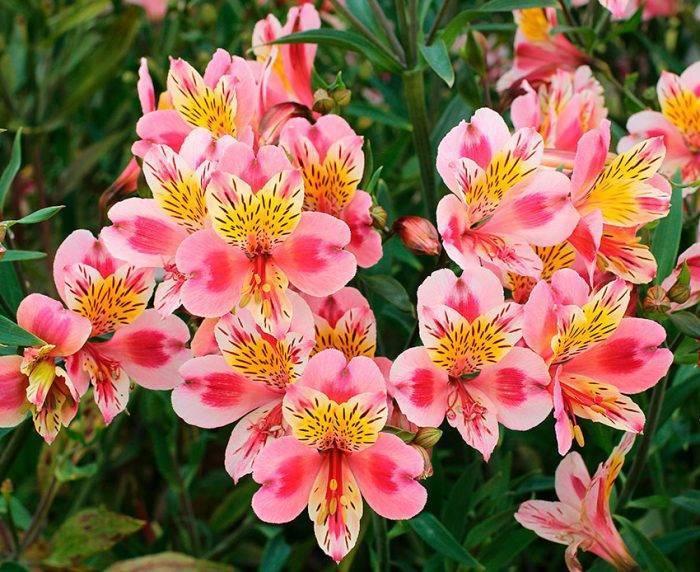 Цветок «Альстромерия»: фото, посадка, выращивание и уход