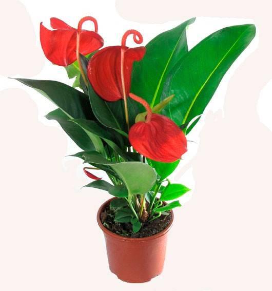 Почему не цветет антуриум, выпускает только листья: возможные причины и пути решения