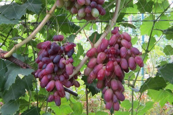 Виноград потомок ризамата: описание сорта и фото, его характеристики и особенности выращивания selo.guru — интернет портал о сельском хозяйстве