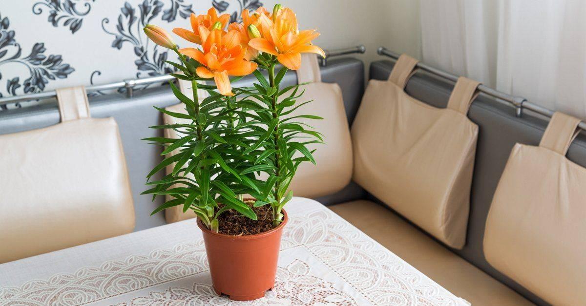 Как лучше хранить зимой луковицы гладиолусов, лилий, георгинов, канн, калл, бегоний, тюльпанов