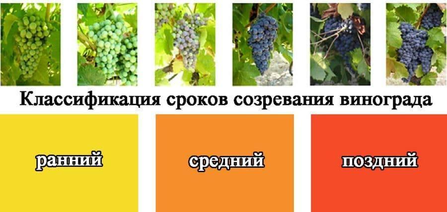 Виноград мариновский: неукрывной сорт для выращивания в средней полосе россии