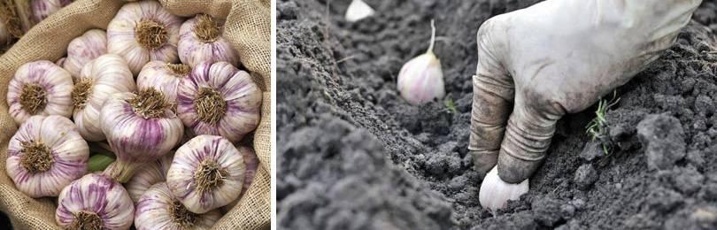 Как и когда правильно сажать чеснок: осенью, под зиму, или весной