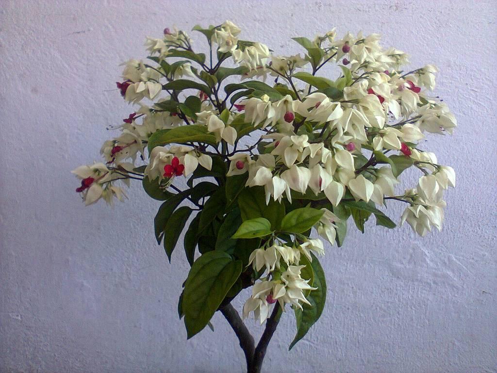 Клеродендрум: все нюансы ухода за цветком в домашних условиях + фото и видео