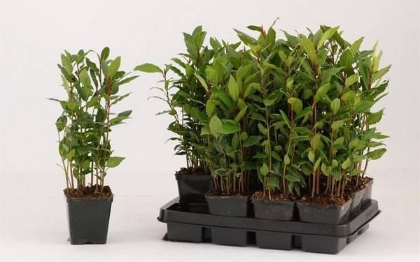 Лавр благородный — выращиваем лавровый лист