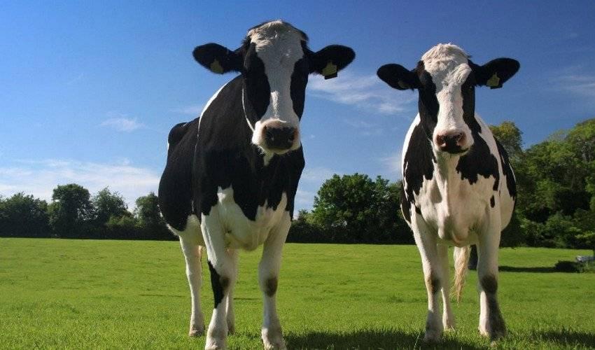 Сколько весит корова, бык и теленок: средний вес