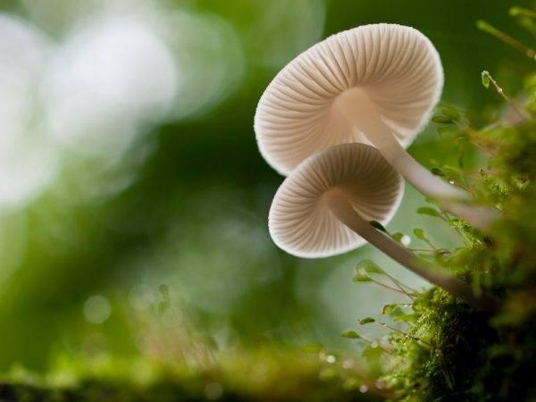 Ядовитые грибы – список, фото, название, описание, видео, как отличить  - «как и почему»