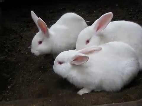 Особенности выращивания кролика белый паннон