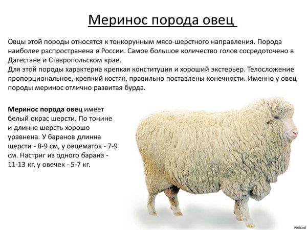 Овцы породы меринос — описание, характеристики, фото, история   меринос — описание и виды пород мериносов. актуальные статьи