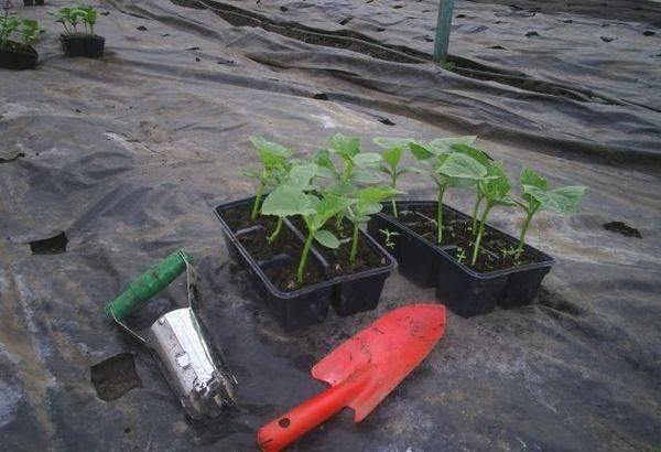 Сроки посева и высадки рассады огурцов в теплицу в подмосковье в 2020 году