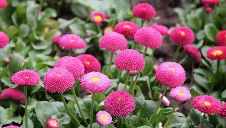 Маргаритка выращивание из семян в домашних условиях, размножение комнатной маргаритки, цветение