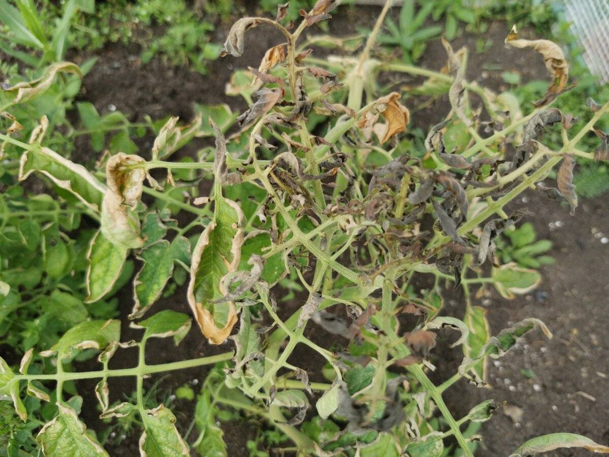 Причины изменения нормального состояния картофельной ботвы