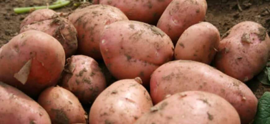 Картофель венета: 8 особенностей и 10 советов по выращиванию и уходу