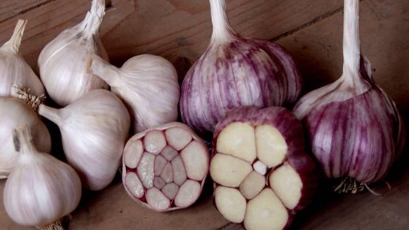Как сажать чеснок семенами из стрелок: когда можно сеять воздушками или бульбочками, правила выращивания зимой и весной, а также инструкция по сбору урожая