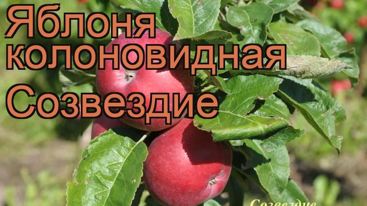 Колоновидные яблони: фото, видео, описание, сорта для средней полосы