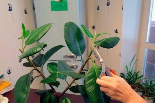 Обрезка фикуса в домашних условиях, формирование куста   мир садоводства