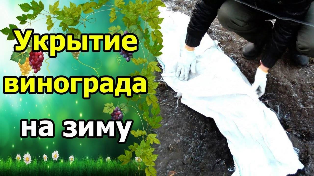 Как укрыть виноград на зиму в первый год после посадки, чем укрывать: фото, советы