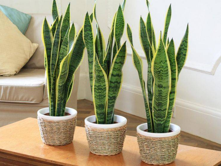 Сансевиерия цилиндрическая — самое простое в уходе комнатное растение. выращивание в домашних условиях. фото — ботаничка.ru