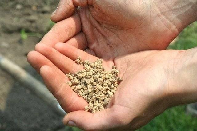 Особенности выращивания укропа: через сколько дней всходит после посева