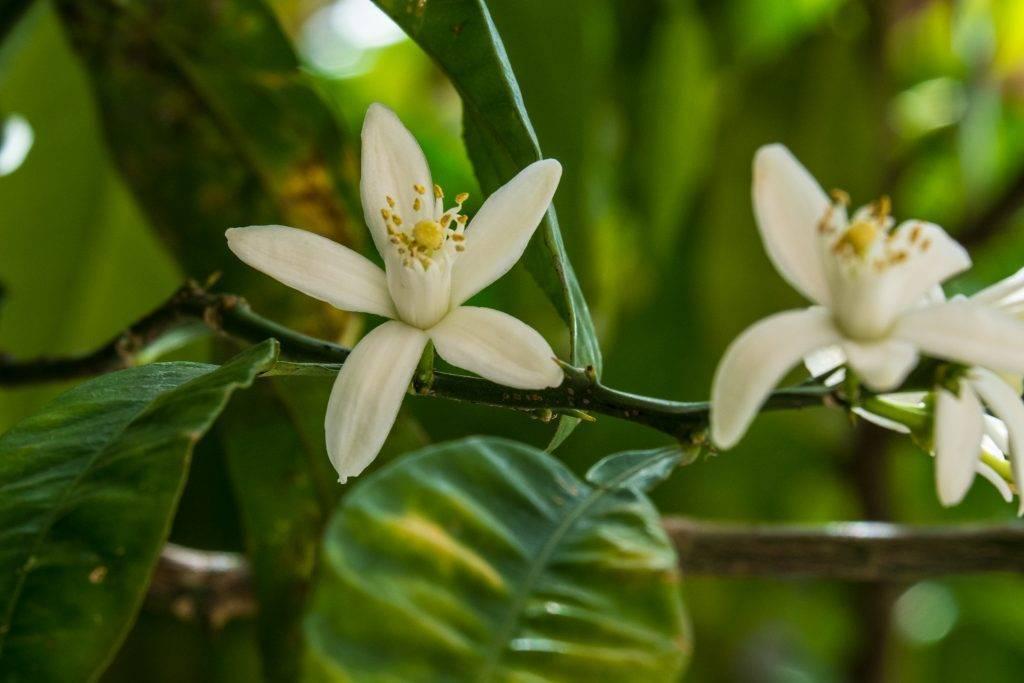 Как привить мандарин в домашних условиях, чтобы он плодоносил: как прищеплять мандариновое дерево из косточки, нужна ли прививка выращенному из черенка