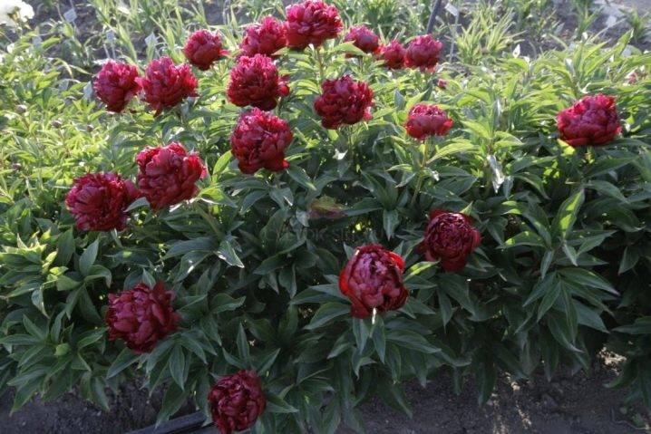Бузина черная «блэк лэйс»: ботаническое описание, правила посадки и ухода, примеры в ландшафтном дизайне