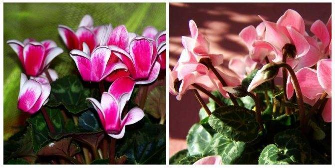 Цикламен — цветок солнца. уход, выращивание, размножение. фото — ботаничка.ru