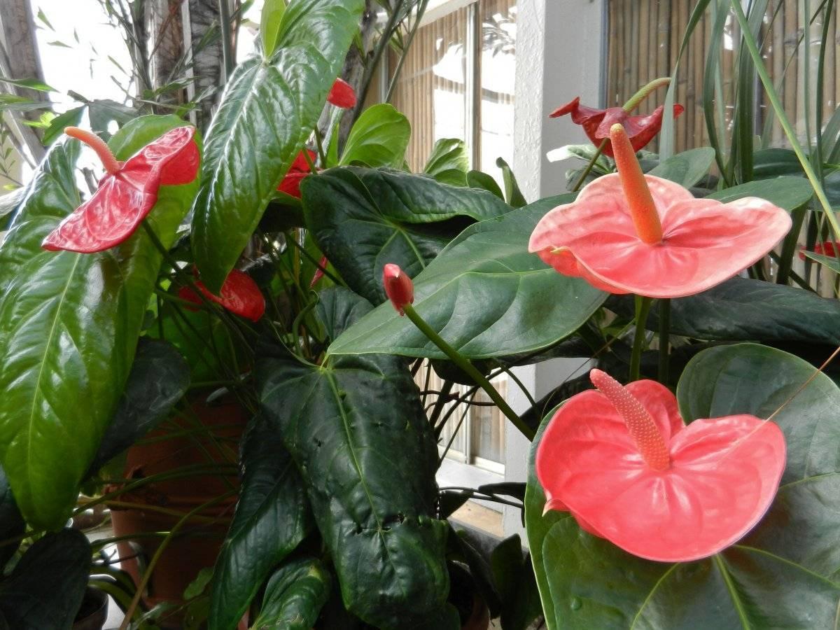 Не цветет антуриум —  почему и что делать в домашних условиях ?