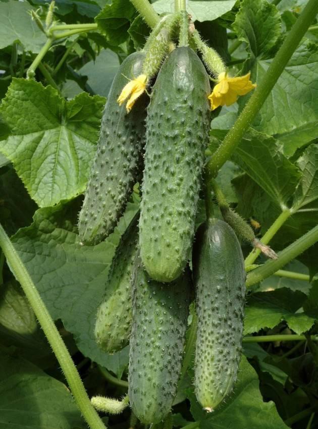 Диаммофоска: состав удобрения, применение на огороде, нормы внесения